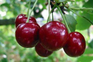 Саженцы вишни для Подмосковья